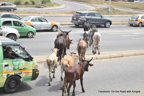 Several cows caught crossing the street around the Achimota Overhead area with flagrant disregard for traffic rules. Photo credit: On the road with Amigo.