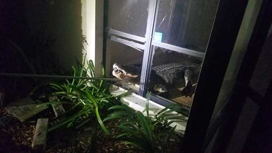 An 11-foot alligator broke into a home in Clearwater, Florida, on the night of May 31, 2019, according to the Clearwater Police Department.